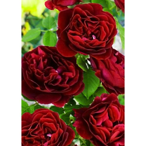 Роза флорибунда Омадж Барбара