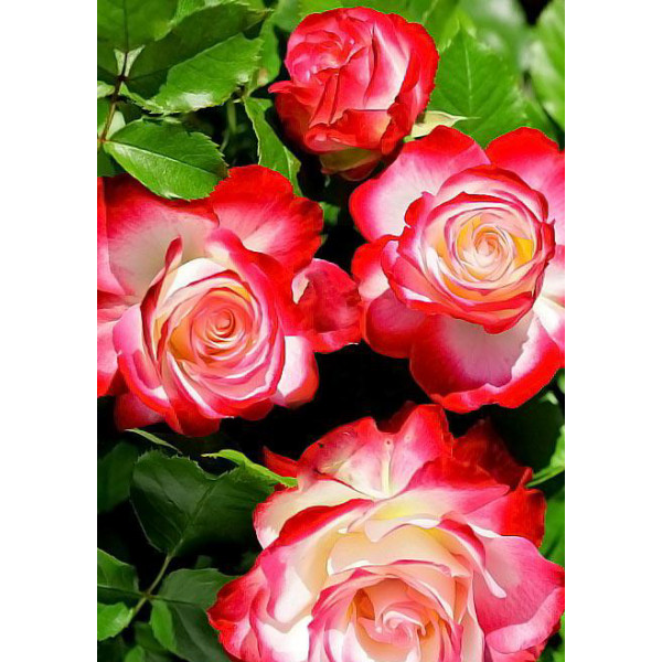 Роза флорибунда Юбилей С.Питербур