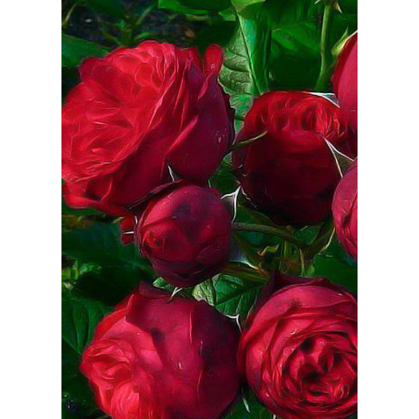 Роза шраб Флорентина