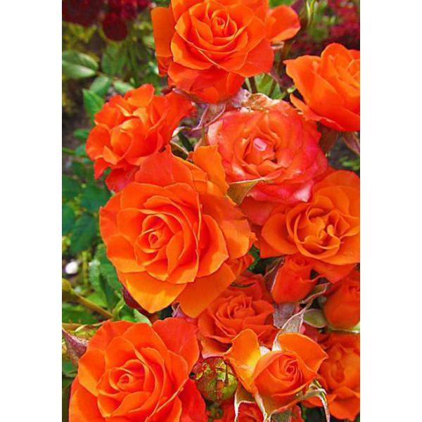 Роза спрей Колибри