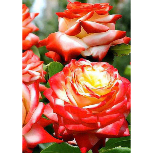Роза чайно-гибридная Императрица Фарах
